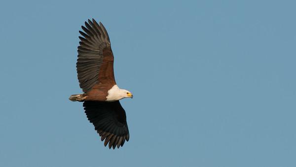 African Fish Eagle, Haliaeetus vocifer, Kruger NP, South Africa.