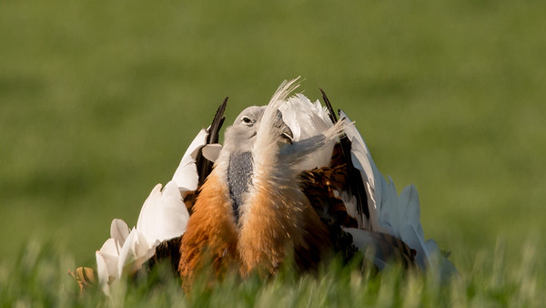 Great Bustard, Otis tarda. Extremadura, Spain.