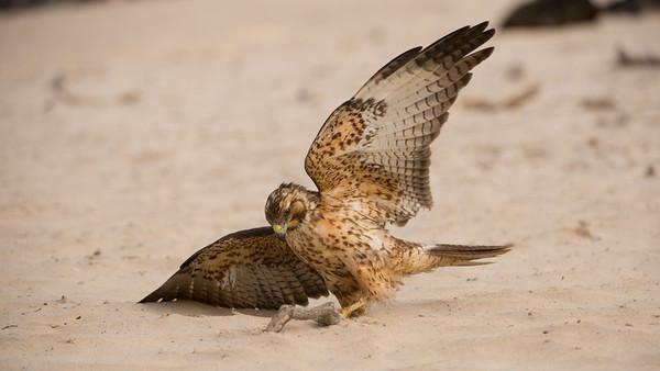Galapagos Hawk, Buteo galapagoensis. Santa Fe Is. Galápagos.