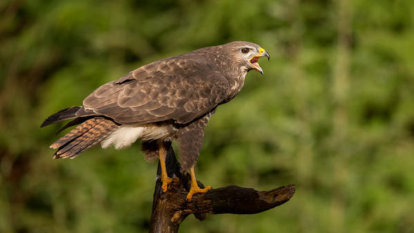 Common Buzzard, Buteo buteo. Oss, The Netherlands.
