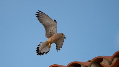 Lesser Kestrel, Falco naumanni. Extremadura, Spain.