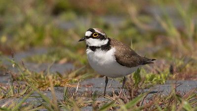 Little Ringed Plover, Charadrius dubius. Texel, The Netherlands.