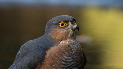 Sparrowhawk, Accipiter nisus Lemelerberg, The Netherlands.