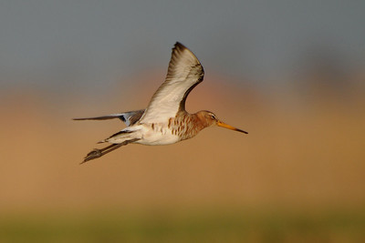 Black-tailed Godwit, Limosa limosa. Ilperveld, The Netherlands.
