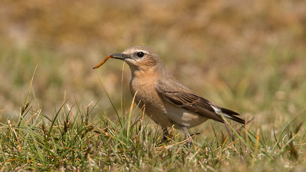 Northern Wheatear, Oenanthe oenanthe. Texel, The Netherlands.