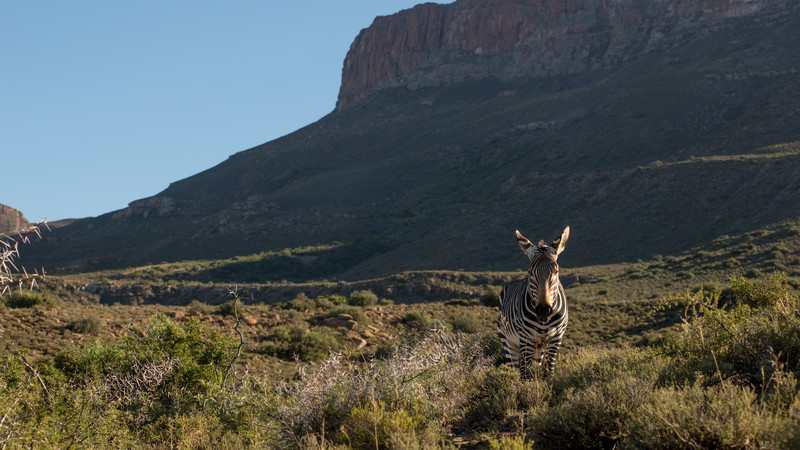 Mountain Zebra, Equus zebra. Karoo NP, South Africa.