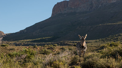 Mountain Zebra, Equus zebra. Karoo NP, South Africa.