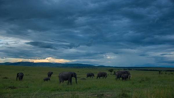 Savanna Elephants, Loxodonta africana. Masai Mara, kenya.
