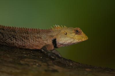 Oriental Garden lizard, Calotes versicolor