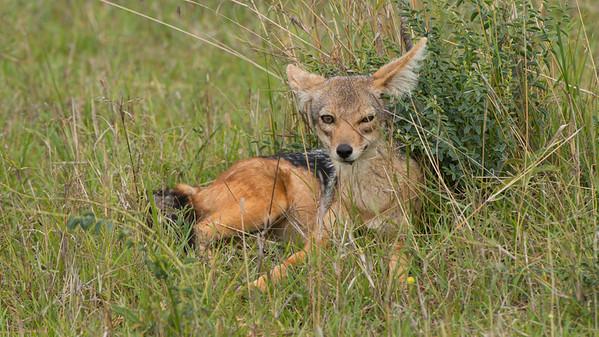 Black-backed Jackall, Canis mesomelas. Masai Mara, kenya.