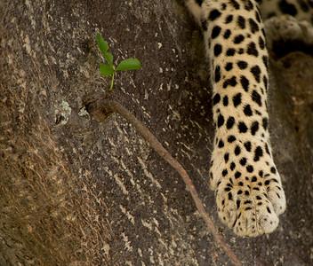 Leopard, Panthera pardus. Ruaha National Park, Tanzania.
