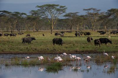 Greater Flamingo, Phoenicopterus ruber. Nakuru, Kenya.