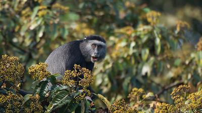 Blue Monkey Cercopithecus nictirans stuhlmanni. Kakamega Rainforest, Kenya.