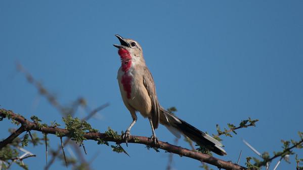 Rosy-Patched Bushshrike, Rhodophoneus cruentus. Samburu, Kenya.