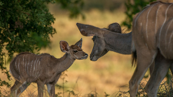 Greater kudu, Tragelaphus strepsiceros, Leopard Mountain Lodge, South Africa.