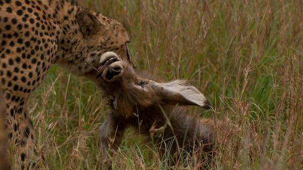 Cheetah Kill, Leopard Mountain Lodge, South Africa.