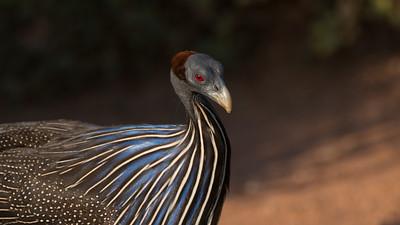 Vulturine Guinaefowl, Acryllium vulturinum. Samburu, Kenya.