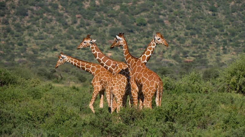 Giraffe, Giraffa camelopardalis reticulata. Samburu, Kenya.