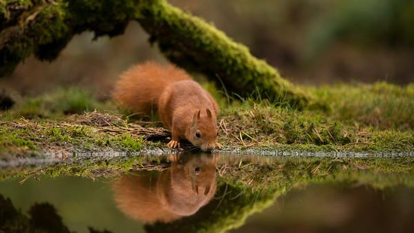 Red squirrel, Sciurus vulgaris. Oss, The Netherlands.