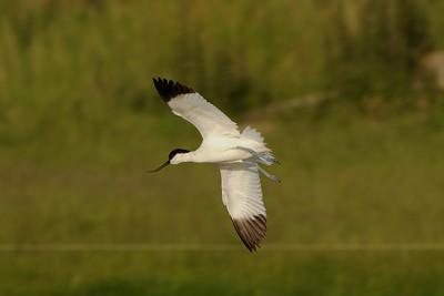 Pied Avocet, Recurvirostra avosetta. Texel The Netherlands.