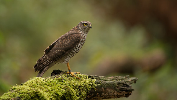 European Sparrowhawk, Accipiter nisus. Oss, The Netherlands.