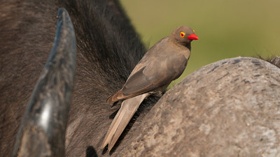 Red-Billed Oxpecker, Buphagus erythrorhynchus. Nakuru, Kenya.