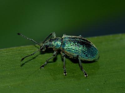 Green immigrant Leaf Weevil, Polydrusus sericeus .Landsmeer, The Netherlands.