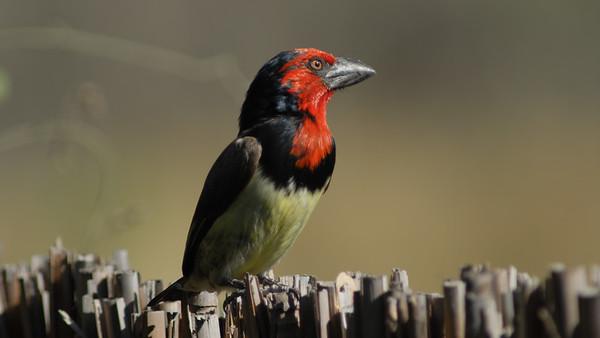 Blackcollared Barbet, Lybius torquatus. Okavango Delta, Botswana.
