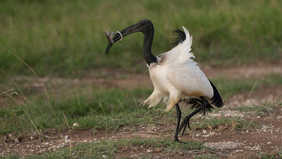 Sacred Ibis, Threskiornis aethiopicus. Amboseli, Kenya.