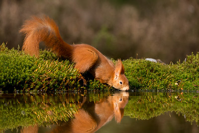 Red squirrel, Sciurus vulgaris. Oss, The Netherlands.