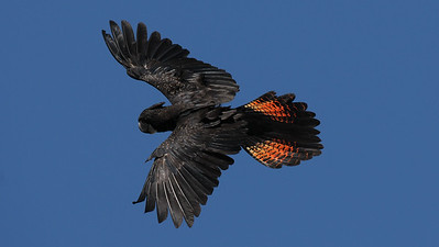 Red-Tailed Black-Cockatoo Calyptorhynchus banksii. Australia.