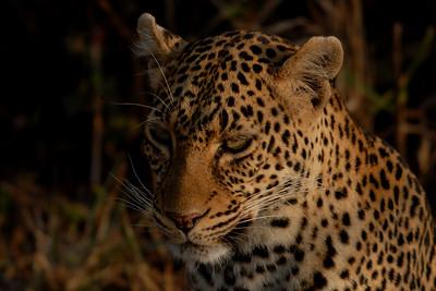 Leopard, Panthera pardus. Masai Mara, Kenya.