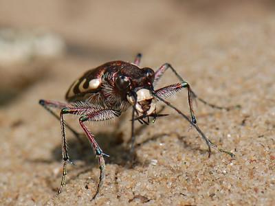 Northern dune tiger beetle, Cicindela hybrida. The Netherlands.