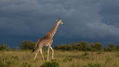 Giraffe, Giraffa camelopardalis. Masai Mara, kenya.