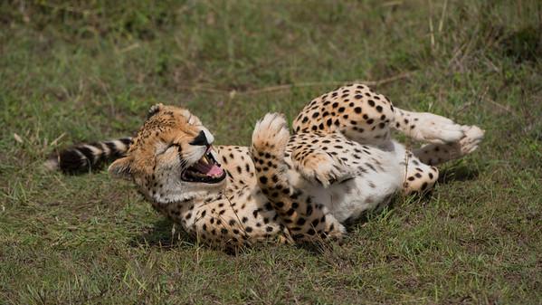 Cheetah, Acinonyx jubatus. Masai Mara, kenya.