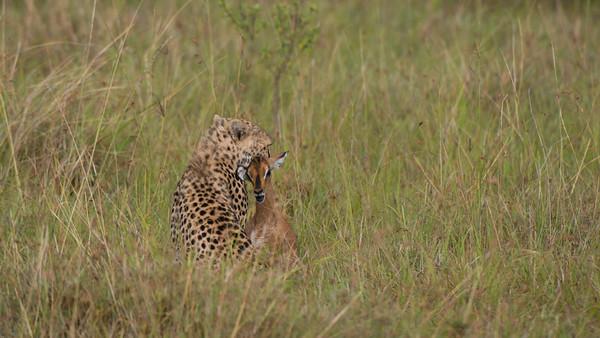 Hunting Cheetah, Acinonyx jubatus. Masai Mara, kenya.
