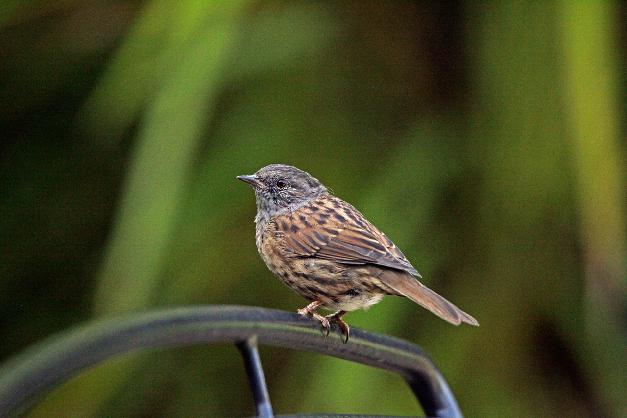 Hedge Sparrow aka Dunnock