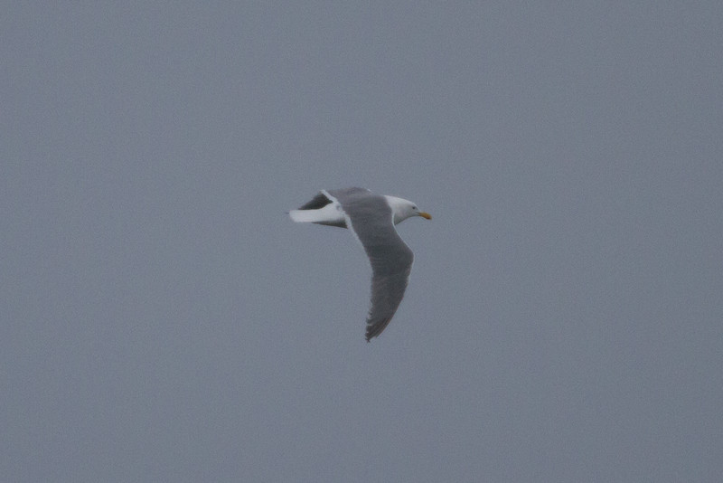 Gull, Glaucous Winged