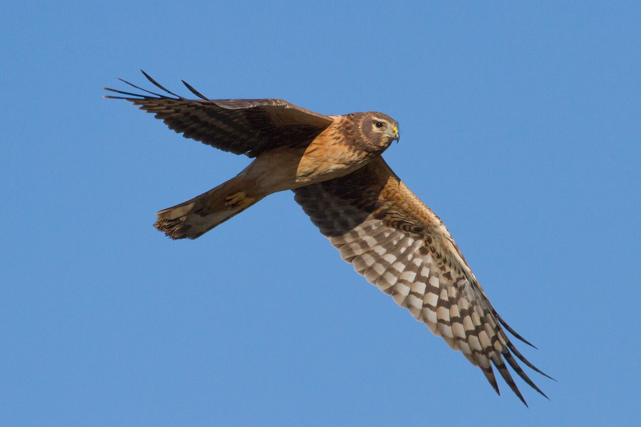 Hawk, Northern Harrier