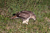 Red-tailed Hawk (Buteo jamaicensis) eating something.