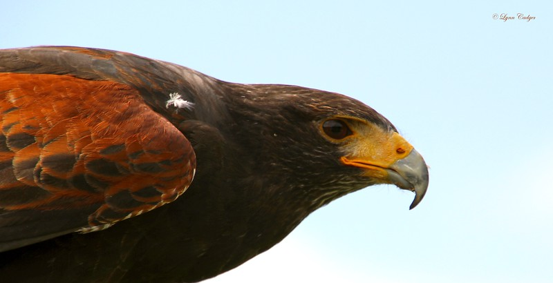 Harris Hawk Profile 1
