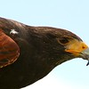 Harris Hawk Profile 1