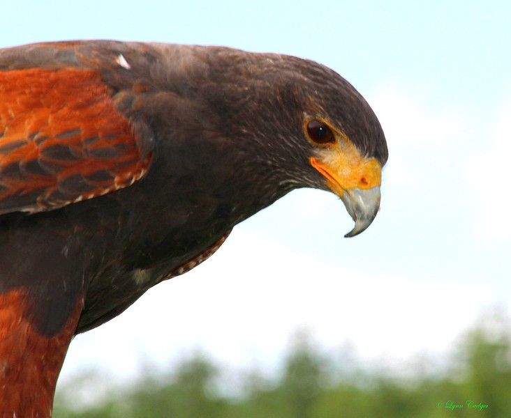 Harris Hawk Profile 2