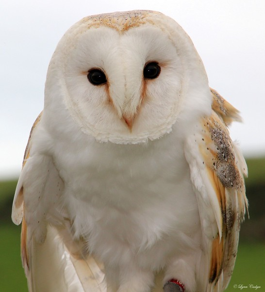 Barn Owl  12 x 10 inch