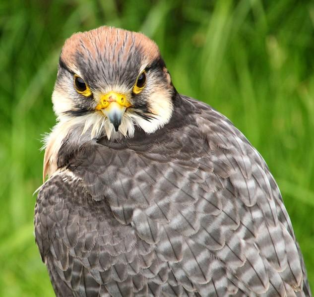 Peregrine Falcon, Portrait