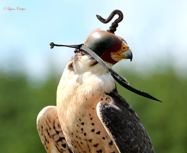 Hooded Peregrine Falcon