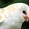 Snowy the Barn Owl