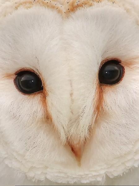 Barn Owl up close. 7 x 5 inch