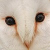 Barn Owl up close. 7 x 5 inch