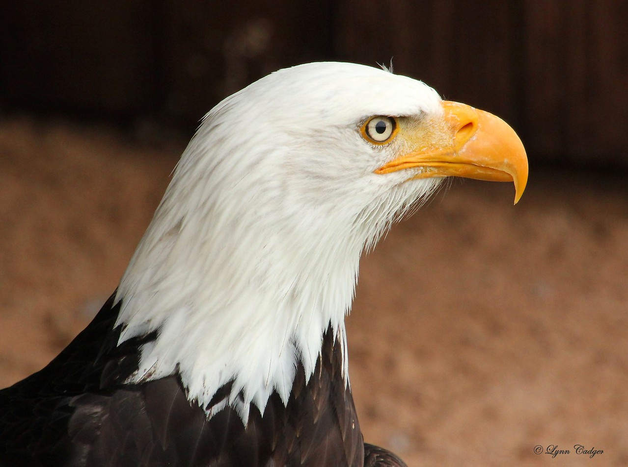 Bald Eagle in profile